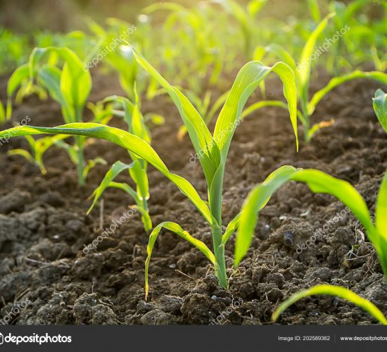 Young corn plants in agricultural plots